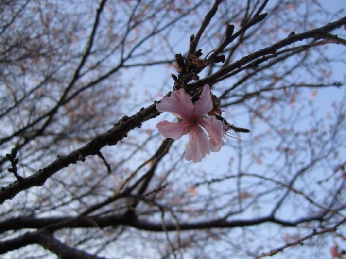Winter Sakura 桜